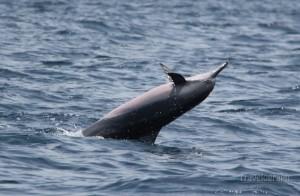 dolphin_cruise_maldives2